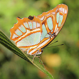 Malachite Butterfly  by Marlin and Laura Hum
