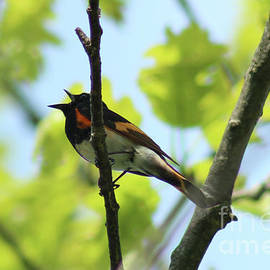 Male American Redstart Singing in Shenandoah National Park by Maili Page