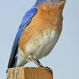 Male Bluebird No. 1 by Jerry Fornarotto