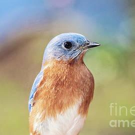 Male Bluebird Portrait by Scott Pellegrin