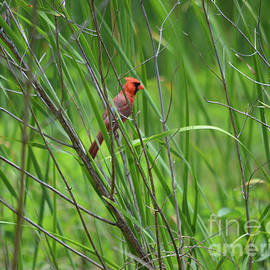 Male Cardinal In Tall Grasses by Ruth Housley