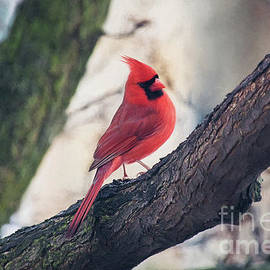Male Cardinal by Sharon McConnell
