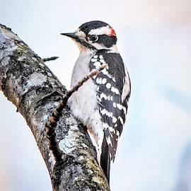 Mary Ann Artz - Male Downy Woodpecker