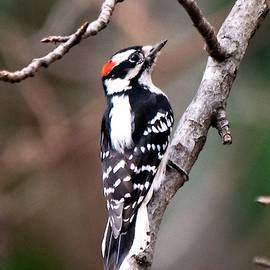 Mary Ann Artz - Male Downy Woodpecker - Vertical