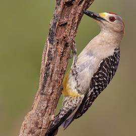 Jerry Fornarotto - Male Golden-fronted Woodpecker