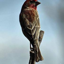 Male House Finch On A Spring Day by Cindy Treger