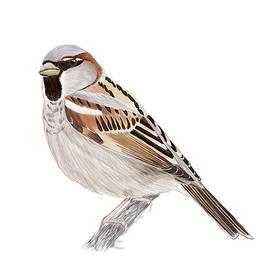 Male House Sparrow by Andras Vasas