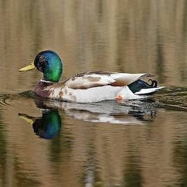 Male Mallard Duck Reflections in Spring by Marlin and Laura Hum