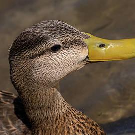 Male Mottled Duck Portrait by Debra Martz