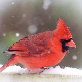 Kerri Farley - Male Northern Cardinal as the Snow Falls