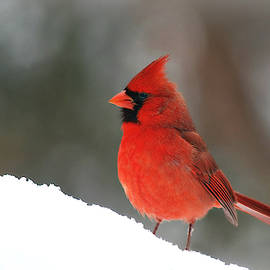 Male Nothern Cardinal in Snow by Marilyn DeBlock