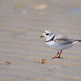 Male Piping Plover at Low Tide by Mike Martin