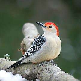 Male Red-Bellied Woodpecker by Marilyn DeBlock
