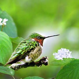 Male Ruby Throated Hummingbird Perched by Christina Rollo