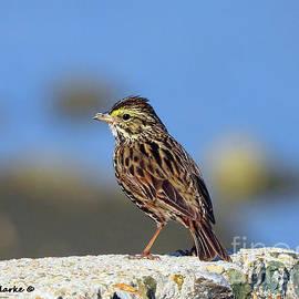 Male Savannah Sparrow by Bunny Clarke