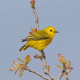 Male Yellow Warbler in Spring by Marlin and Laura Hum