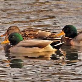 Rory Cubel - Mallard Drakes and A Hen           Christmas Day           St. Joseph River         Indiana