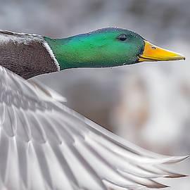Mallard Duck in Flight Close Up by Lowell Monke