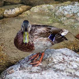 Mallard Duck On The Rock by Michelle Meenawong