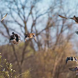 Mallards Flying Away by Edward Peterson