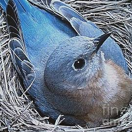 Mama Bluebird Incubating Her Eggs by Bobbie Moller