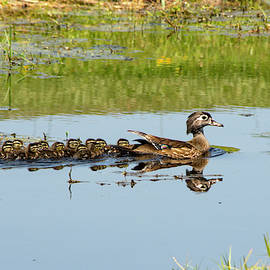 Mama Wood Duck And Her Sweet 13 by William Tasker
