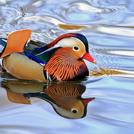 Mandarin Duck in Central Park by Geraldine Scull
