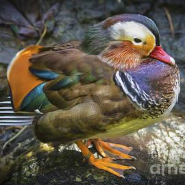 Mandarin Duck by Mitch Shindelbower