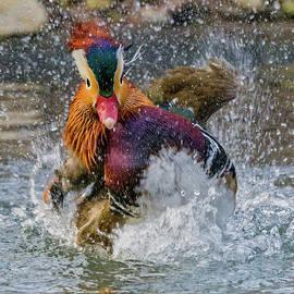 Mandarin Duck Splashing by Jerry Fornarotto