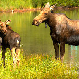Many Glacier Cow And Calf Moose by Adam Jewell