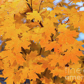 Maple-2 by Charles Hite