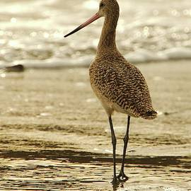 Marbled Godwit at Sunset by David Farlow