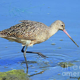 Marbled Godwit by Bunny Clarke