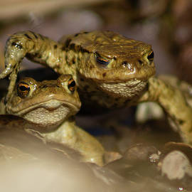 March for Survival. Common frogs walking on top of each other by Niklas Norberg Wirten