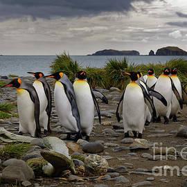 King Penguins Walking on Beach at South Georgia Island by Tom Schwabel
