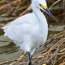 Marching Egret by Paul Freidlund