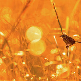 Marsh Sparrow by Francisco Gomez