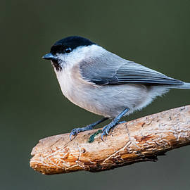Marsh Tit on the Old Pine Branch by Torbjorn Swenelius