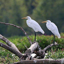 Matched Pair Great Egrets by Steve Gass