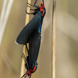 Mating Moths by Robert Potts