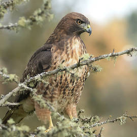 Mature Red Tail Hawk by Angie Vogel