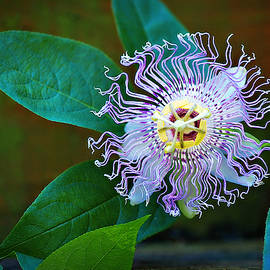 Maypop Passion Flower by Marilyn De Block