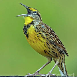 Meadowlark at full song by Larry Nieland