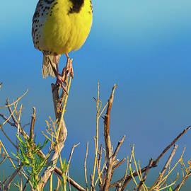 Meadowlark by John De Bord