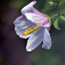 Mellow Mallow by William Tasker