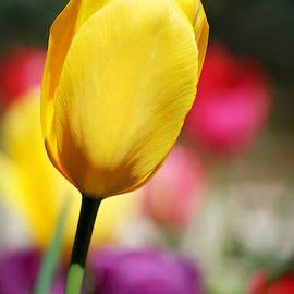 Mellow Yellow Tulip by Marilyn De Block
