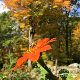 Mexican Sunflower 28 by Amy E Fraser