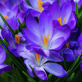 Mighty Crocus by Carrie Goeringer