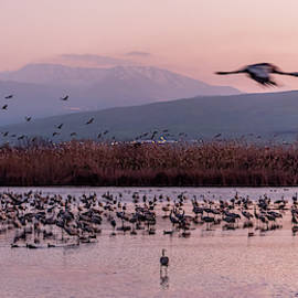 Migrating Cranes Resting At Sunrise by Morris Finkelstein