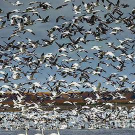 Migration Of The Snow Geese 2 by Bob Christopher